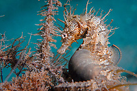 lined seahorse, northern seahorse, or spotted seahorse, Hippocampus erectus, Blue Heron Bridge, Riviera Beach, Palm Beach County, Florida, USA, Atlantic Ocean