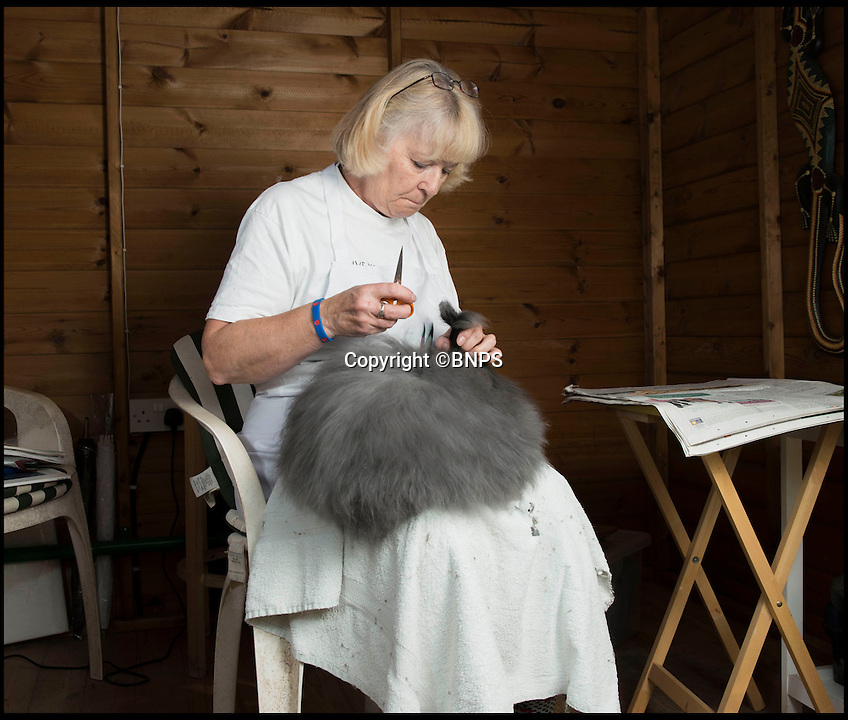 BNPS.co.uk (01202 558833)<br /> Pic: LauraDale/BNPS<br /> <br /> Where to start...<br /> <br /> Resourceful rabbit owner Sally May is making her winter woollies from the fleece of her fluffy Angora bunnies.<br /> <br /> Sally, who lives in Wiltshire, got her first Angora rabbit 40 years ago when a friend wanted to get rid of one. Now she has 20 which she regularly clips to make the warmest, softest, and even waterproof, wool.<br /> <br /> Angora fibres are prized for their fluffy texture. It's about six times warmer than sheep's wool, and the fibre is also exceptionally fine, just 11 microns (thousands of a millimetre), which make it softer than cashmere. It has a trade value of £22 to £28 per kilo.<br /> <br /> The 67-year-old also exhibits her pampered pets at big shows, the rabbit equivalent of Crufts, and her brown-grey angora Brianna just won 'best in show' at the Three Counties Show in Malvern, just beating its sister Bunny.