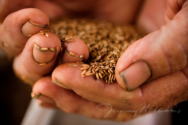 A farmer holds sea oats seeds in his hard worked, dirty hands