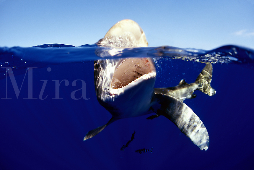 Oceanic whitetip shark, Carcharhinus longimanus, jaw open, biting at the surface.