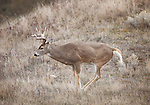 Whitetail buck leaving scent during the rutting season