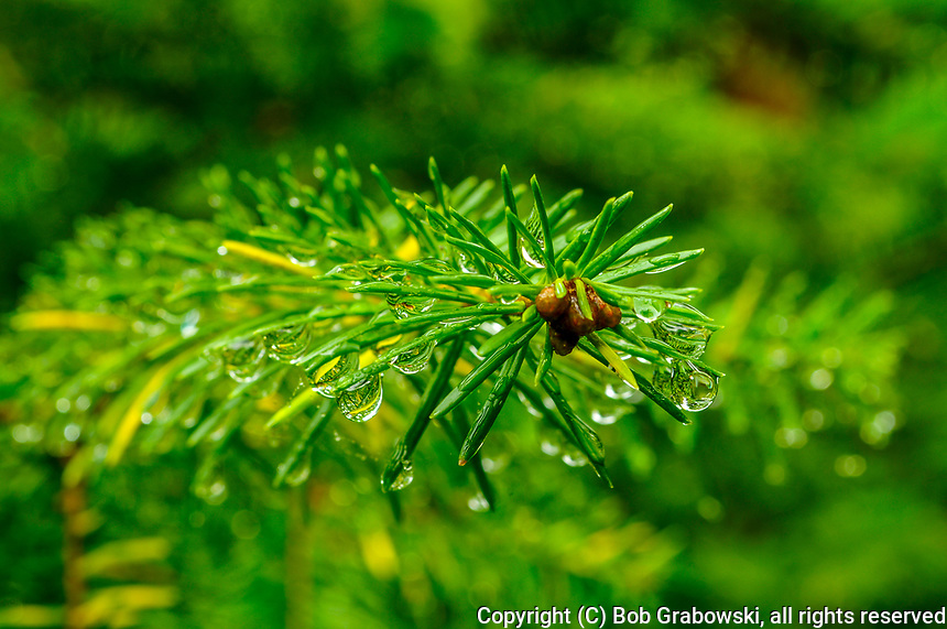 Closeup Of Raindrops A On Red Spruce Needles In The Adirondack Mountains Of New York State