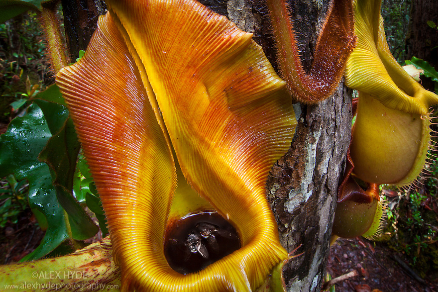 Large aerial pitchers of Veitch's Pitcher Plant (Nepenthes veitchii) growing up a tree trunk, showing captured fly. Montane mossy heath forest or 'kerangas' on the southern plateau of Maliau Basin, Sabah's 'Lost World', Borneo. Pitcher plants are carniverous, trapping invertebrate prey in their liquid-filled pitfall traps.