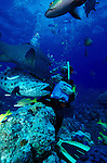 Dive master feeding Potato Cod - Epinephelus tukula, Great Barrier Reef, Queensland, Australia