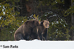 Grizzly bears mating on snow. Yellowstone National Park, Wyoming.