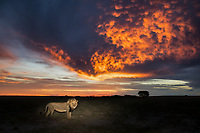 A Kalahari black-maned lion wakes up as dawn sets in.