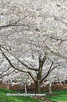 65021-02510 Flowering Crabapple trees in spring, Missouri Botanical Garden, St Louis  MO
