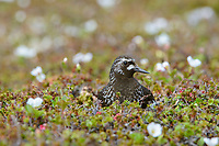Black Turnstone (Arenaria melanocephala) on the nest. Yukon Delta National Wildlife Refuge, Alaska. July.