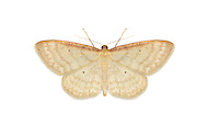 70.007 (1706)<br /> Isle of Wight Wave - Idaea humiliata