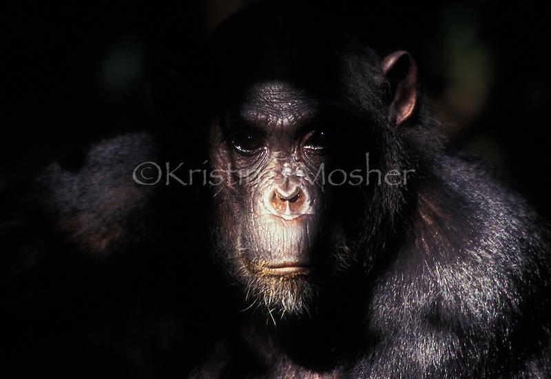 Fanni, dauaghter of Fifi. Eastern Chimpanzee (Pan troglodytes schweinfurthii). Gombe Stream National Park, Tanzania. Jane Goodall Institute/GSRC