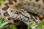 Meadow Viper head (Vipera ursinii), vulnerable species of Europe.