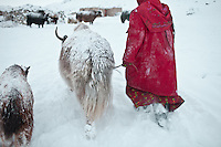 A Kyrgyz girl bringing a baby yak to its mother..In and around Ech Keli, Er Ali Boi's camp, one of the richest Kyrgyz in the Little Pamir...Trekking with yak caravan through the Little Pamir where the Afghan Kyrgyz community live all year, on the borders of China, Tajikistan and Pakistan.