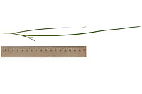 Schnittlauch, Schnitt-Lauch, Allium schoenoprasum, Chives, la Ciboulette, La civette. Blatt, Blätter, leaf, leaves