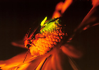 FIREFLIES (LIGHTNING BUGS).Photinus Pyralis. Flashing On Daisy.A firefly flashes when O2, breathed in through the abdominal tracheae, combines with the substance luciferin under the catalytic effect of the enzyme luciferase. The light is 90-98% efficient.