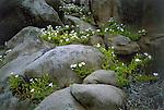 Suspiro ( nolana elegans ) growing among boulders along Chiles coastal desert, Llanos de Challe National Park,in the southern reaches of the Atacama desert