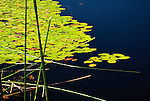 Lily pads and reeds, Tahkenitch lake, Oregon