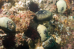 Coronado Islands, Baja California, Mexico; several Giant Keyhole Limpet's and Red Sea Urchins cover the rocky reef