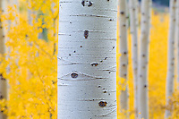 Aspen trunk with fall colors.  Shooting at a wide aperture created an impressionistic, out-of-focus background in this image.<br /> <br /> Canon EOS 5D Mk II, 70-200 f/2.8L lens