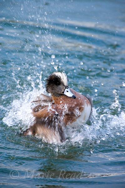 American Wigeon (Anas americana) male in breeding plumage, bathing, Upper Newport Bay, California, USA