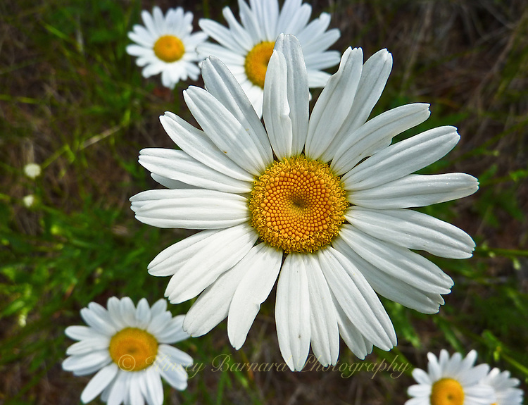 Close up of a white wild daisy.