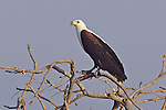 Shire River Fish Eagle