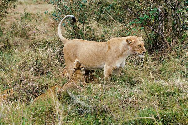 Female african lion (Panthera leo) nursing young.  Kenya, Africa.