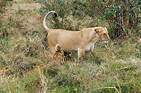 Female african lion (Panthera leo) nursing young.  Kenya, Africa.