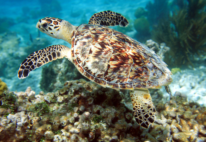 MAY 18 2006; ST. JOHN, USVI; USA; A young sea turtle swims among the coral in Waterlemon Bay on the island of St. John in the U.S. Virgin Islands. Sea turtles frequent the near shore waters of St. John to feed on sea grasses that grow there. Photo by Matt May
