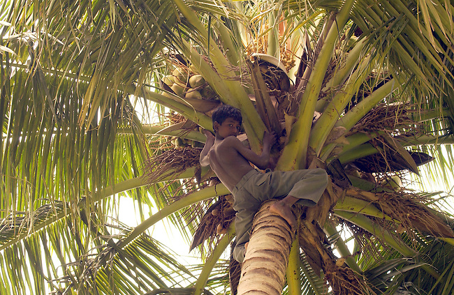 A boy harvests coconuts in Tamil Nadu, India