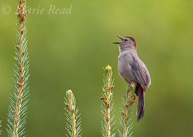 Gray Catbird (Dumetella carolinensis), singing in summer, New York, USA