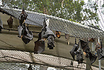Tolga Bat Hospital -Spectacled Flying Fox in their cage (Pteropus conspicillatus)
