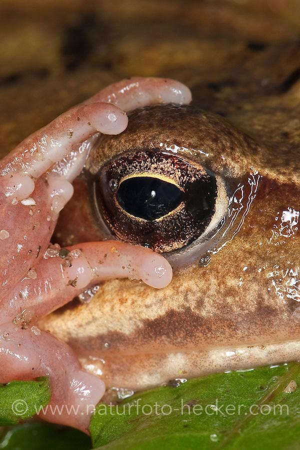 Grasfrosch, Gras-Frosch, Portrait, Frosch, Rana temporaria, European Common Frog, European Common Brown Frog