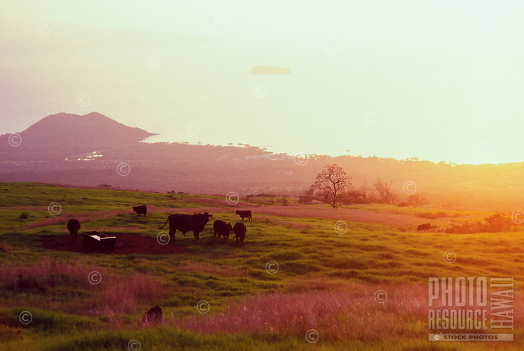 Cows grazing in the field at Ulupalakua Ranch, Upcountry Maui