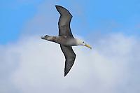Galapagos Albatross (Diomedea irrorata), adult in flight, Espanola Island, Galapagos, Ecuador, South America