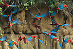 Red & Green Macaws, Ara Chloroptera, group in flight scared off salt clay lick, Manu, Peru, Amazonian Jungle, group feeding on salt nutrients which helps with diet of toxic fruits, flying, blurred, movement. .Peru....
