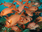 German Channel, Palau -- School of Epaulette Soldierfish (Myripristis kuntee).