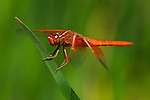 USA; California; San Diego; A Drangonfly in Mission Trails Park in San Diego