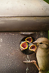Baby sparrows and mom peering from Acorn Birdhouse.