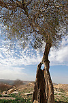 Judean mountains. Mediterranean Hackberry (Celtis Australis) in Yabrud