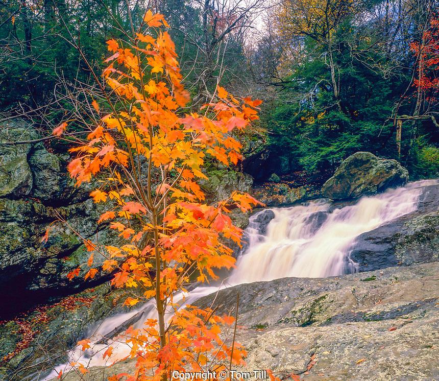 Maple at Cunningham Falls, Cunnigham Falls State Park, Maryland