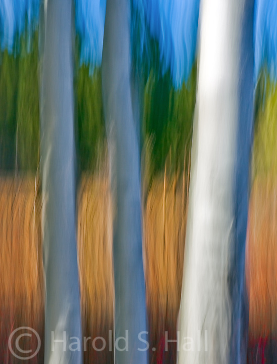 Three aspen trees are blurred by moving the camera while taking the picture, photo.