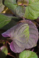 Viola riviniana Purpurea Group aka Viola labradoica purple and green foliage groundcover perennial for shade gardens