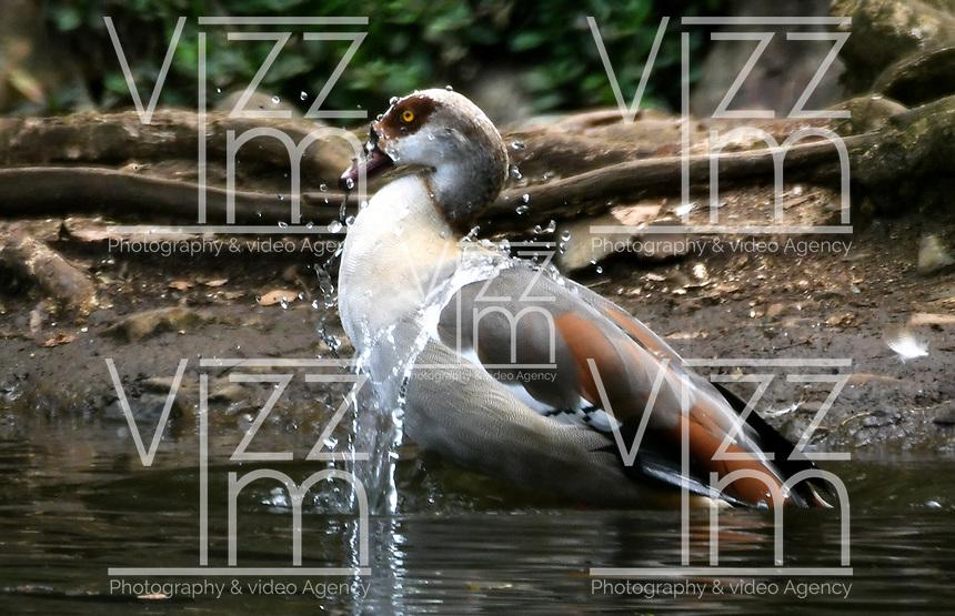 CALI - COLOMBIA - 20 - 06 - 2017: Ganso Comun (Anser Anser), especie de ave muy común en el Valle del Cauca, Colombia. / Ganso Comun (Anser Anser), a very common bird species in the Valle del Cauca, Colombia. / Photo: VizzorImage / Luis Ramirez / Staff.