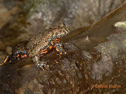 1216-07oo  Oriental Fire Bellied Toad - Bombina orientalis - © David Kuhn/Dwight Kuhn Photography.