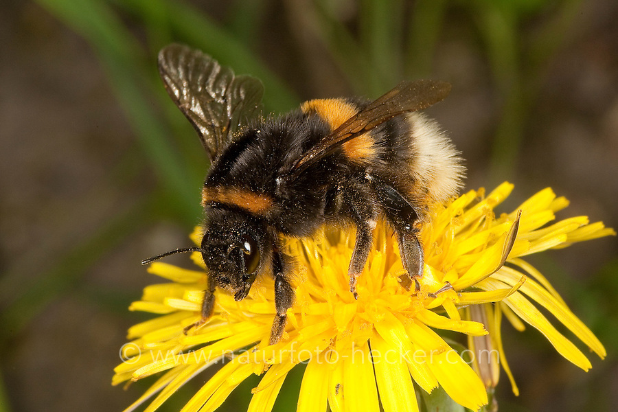 Dunkle Erdhummel, Bombus terrestris, beim Blütenbesuch auf Löwenzahn, Nektarsuche, Bestäubung, buff-tailed bumble bee
