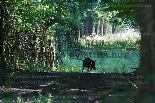 A boar is seen escaping the flooding in the forest in Gemenc (about 218 km South of the capital city Budapest), Hungary on June 14, 2013. ATTILA VOLGYI