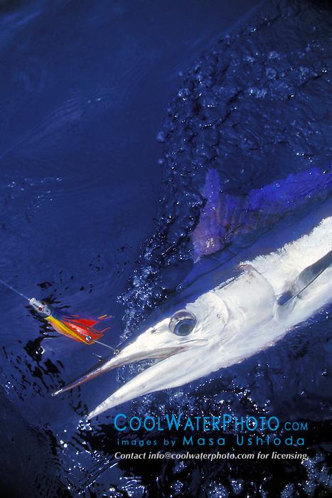 short-billed spearfish, Tetrapterus angustirostris, off Kona Coast, Big Island, Hawaii, Pacific Ocean.