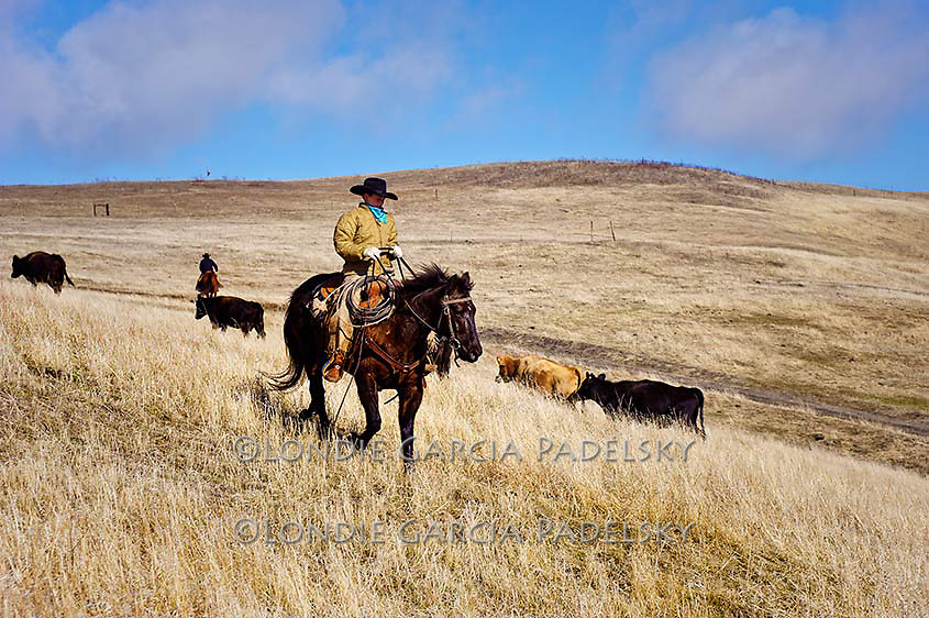 Cowboy riding the wide open range.Cattle roundup at the Spring Ranch at Shandon, California