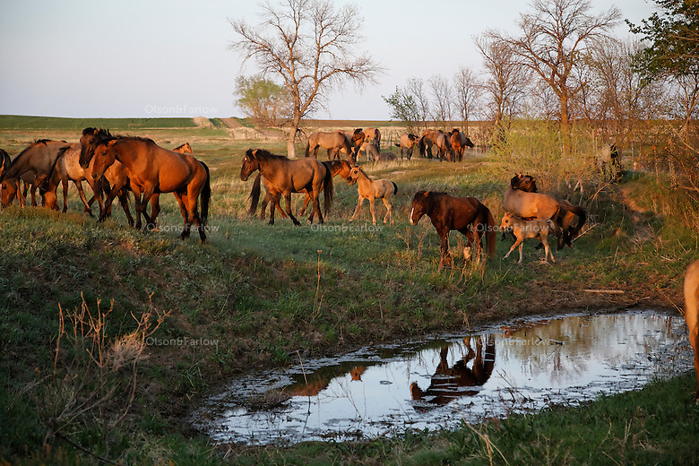 The Gila herd was rescued off land in Arizona.   Local ranchers recall the horses hiding in the Salt Cedar in 1904.  They have been tested genetically and are remnants of the horses from the Spanish conquistadors.<br /> The original 31 horses were gathered in 1999 by the BLM and taken in by Karen Sussman with International Society for the Protection of Mustangs and Burros. They are bay colored with a dark mane and shorter broom tail.  Their other distinctive markings are small stripes on the lower legs and a dark dorsal stripe.