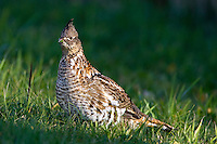 Ruffled Grouse eating grass along side a road